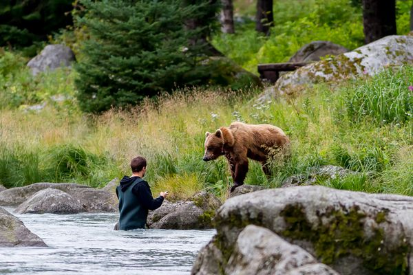 An angler holds a cell phone up to the bear known as Speedy, a frequent visitor to a popular bear-viewing spot along the Chilkoot River, in August 2010.