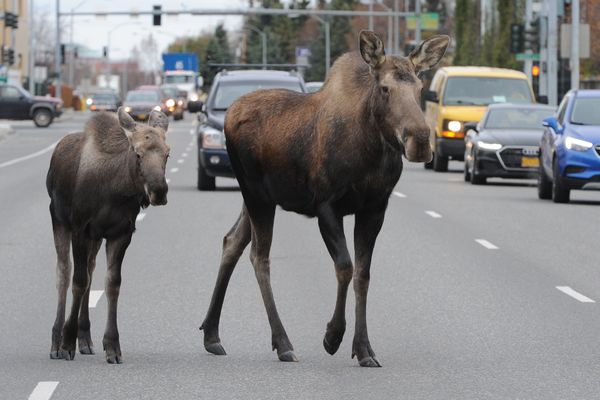 A cow moose with a calf stopped traffic as they crossed C Street in Midtown Anchorage on Wednesday morning, Oct. 16, 2016. (Bill Roth / ADN)