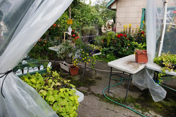 Plants are displayed outside and in a covered area next to Sutton's Brown Thumb Greenhouse. Anna and Patty Sutton own and operate Sutton's Brown Thumb Greenhouse on the corner of Wright Street and Tudor Road. Several generations of the Sutton family have run the business for more than 50 years. Photographed on August 23, 2017. (Marc Lester / Alaska Dispatch News)