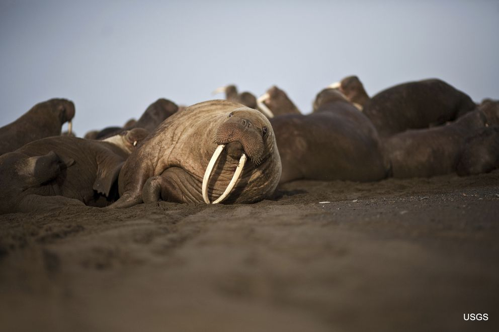 This photo provided by the United States Geological Survey shows a female Pacific walrus resting, Sept. 19, 2013 in Point Lay, Alaska. (Ryan Kingsbery/U.S. Geological Survey via AP)