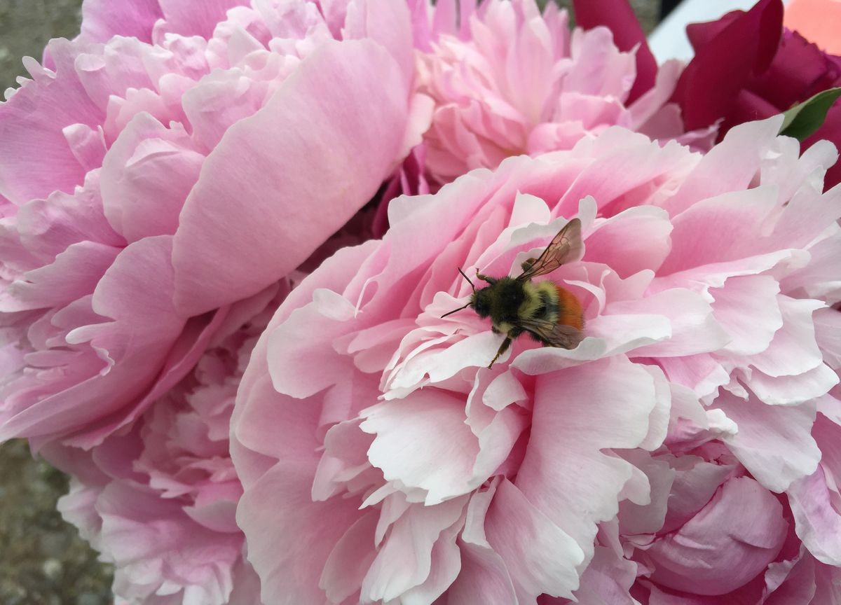 A bumble bee searches for pollen from a peony flower during the second annual u-pick flower sale at Giggly Roots Gardens in Willow on Saturday, July 2, 2016. (Bill Roth / Alaska Dispatch News)