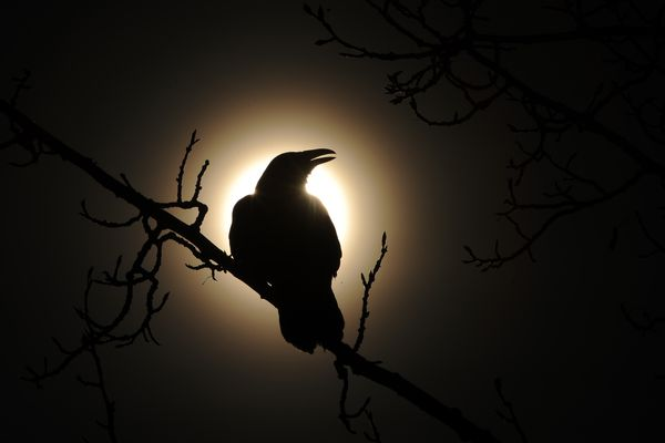 A raven calls out while silhouetted by the sun and perched in a tree between W 29th Ave and Benson Blvd on Thursday, March 1, 2018. (Bob Hallinen / ADN)