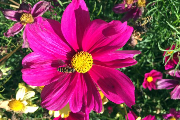 Late-summer cosmos flowers continue to attract insects at the Iditarod Trail Race Headquarters on Thursday, Aug. 18, 2016, in Wasilla. (Erik Hill / Alaska Dispatch News)