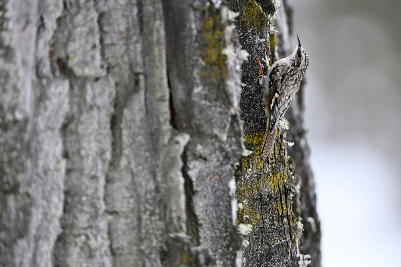 A brown creeper travels up the bark of a cottonwood tree in Far North Bicentennial Park on April 14, 2021. (Marc Lester / ADN)