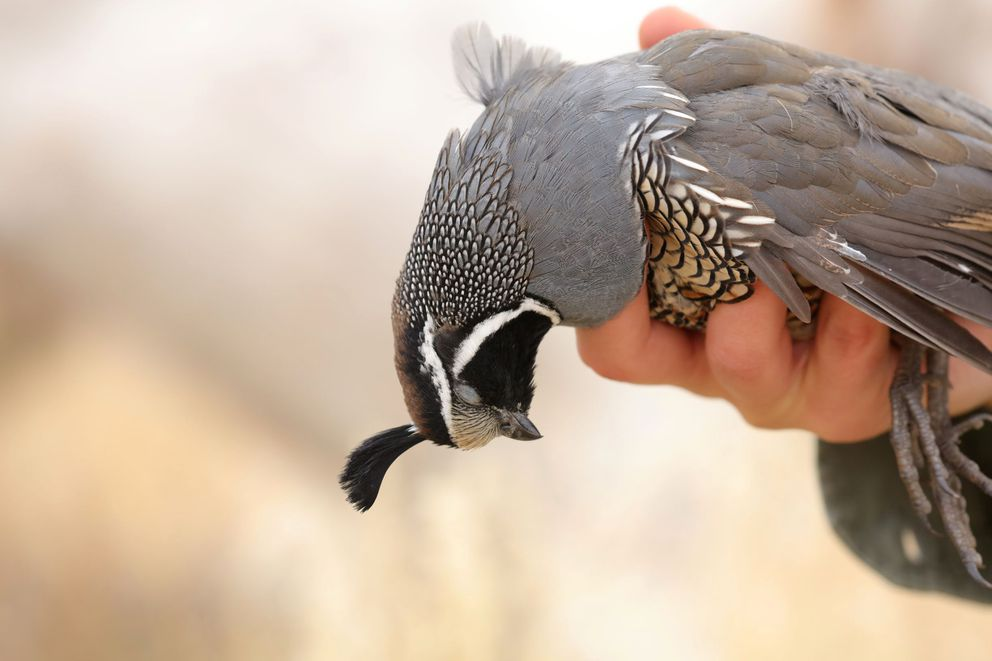 A California quail in southern Idaho. (Photo by Steve Meyer)
