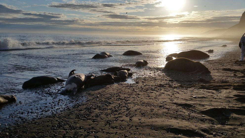A photo taken on Sept. 4, 2015, shows dead walruses on the beach at Cape Lisburne in the aftermath of the stampedes. (U.S. Fish and Wildlife Service)