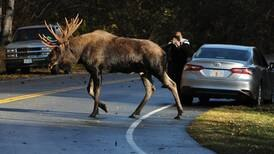 Photos: Bull moose are in their prime and ready for the rut in Kincaid Park