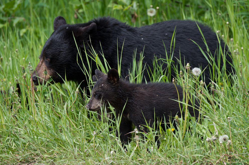 A black bear sow and three cubs could be spotted along Arctic Valley Road on Tuesday. (Marc Lester / Alaska Dispatch News)