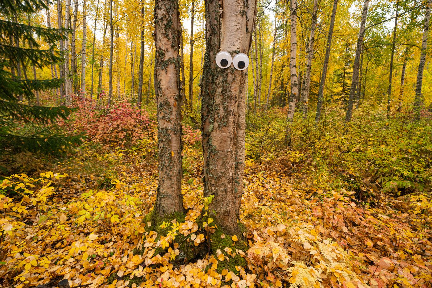 Googly eyes are affixed to a tree at the Alaska Botanical Garden on Thursday, Sept. 24, 2020. The garden has decorated the paths with halloween-themed displays that will be up through October 24. (Loren Holmes / ADN)