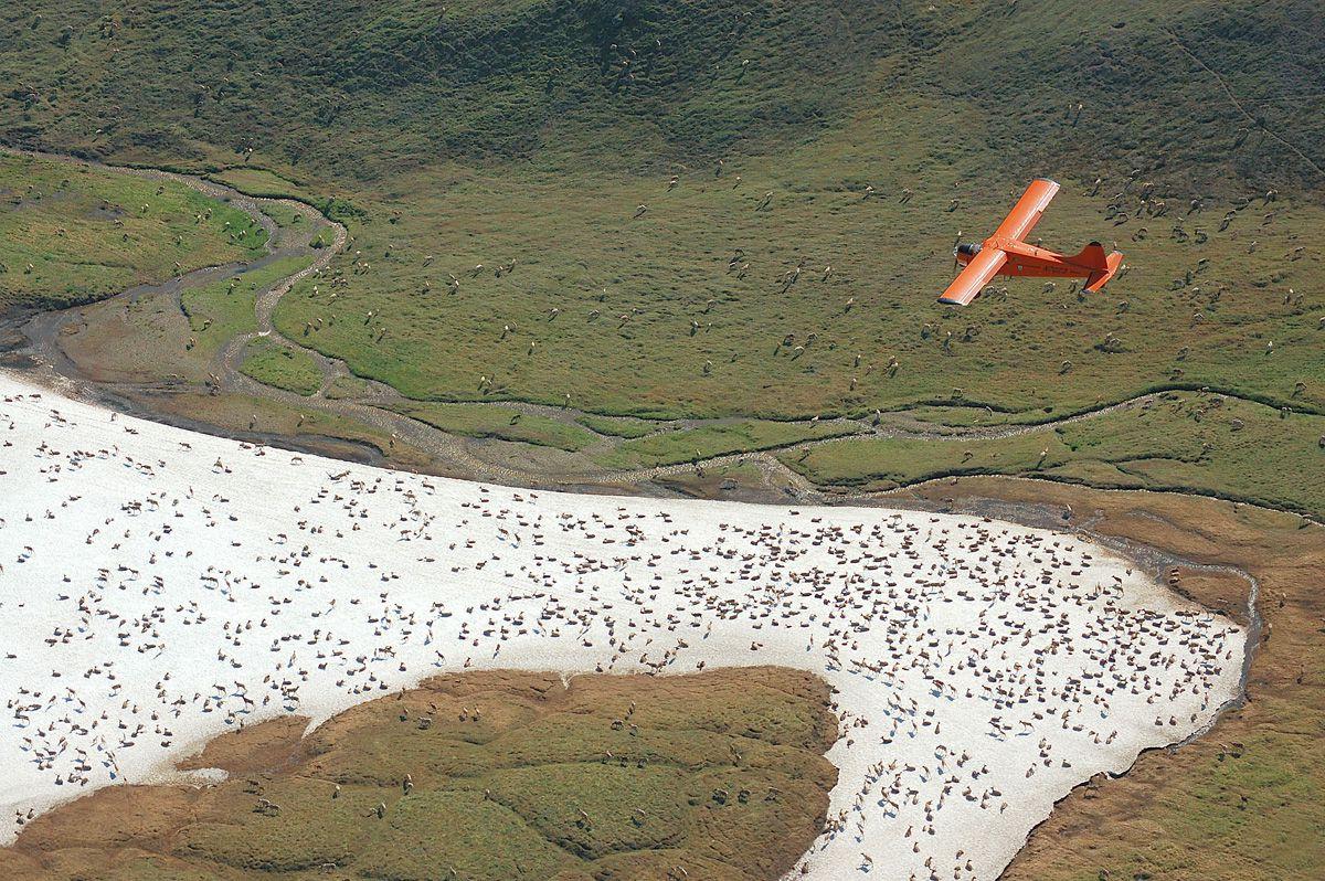 Aerial count of the Western Arctic Caribou herd, 2011. (Jim Dau / Alaska Department of Fish and Game)