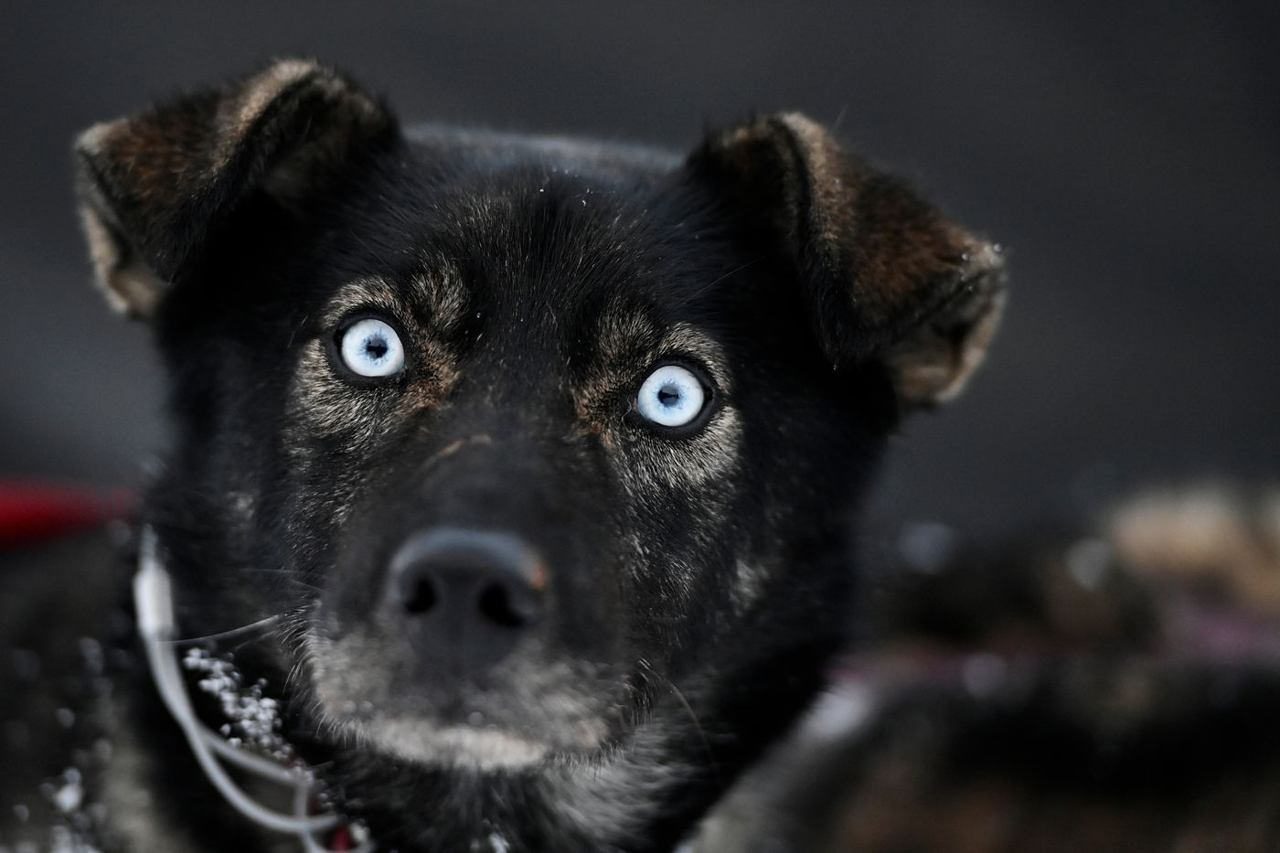 Aaron Burmeister's dog Aries stands with his teammates at the Iditarod finish line on March 15. (Marc Lester / ADN)
