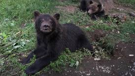 Orphaned cubs headed to Anchorage from Cold Bay; final destination uncertain