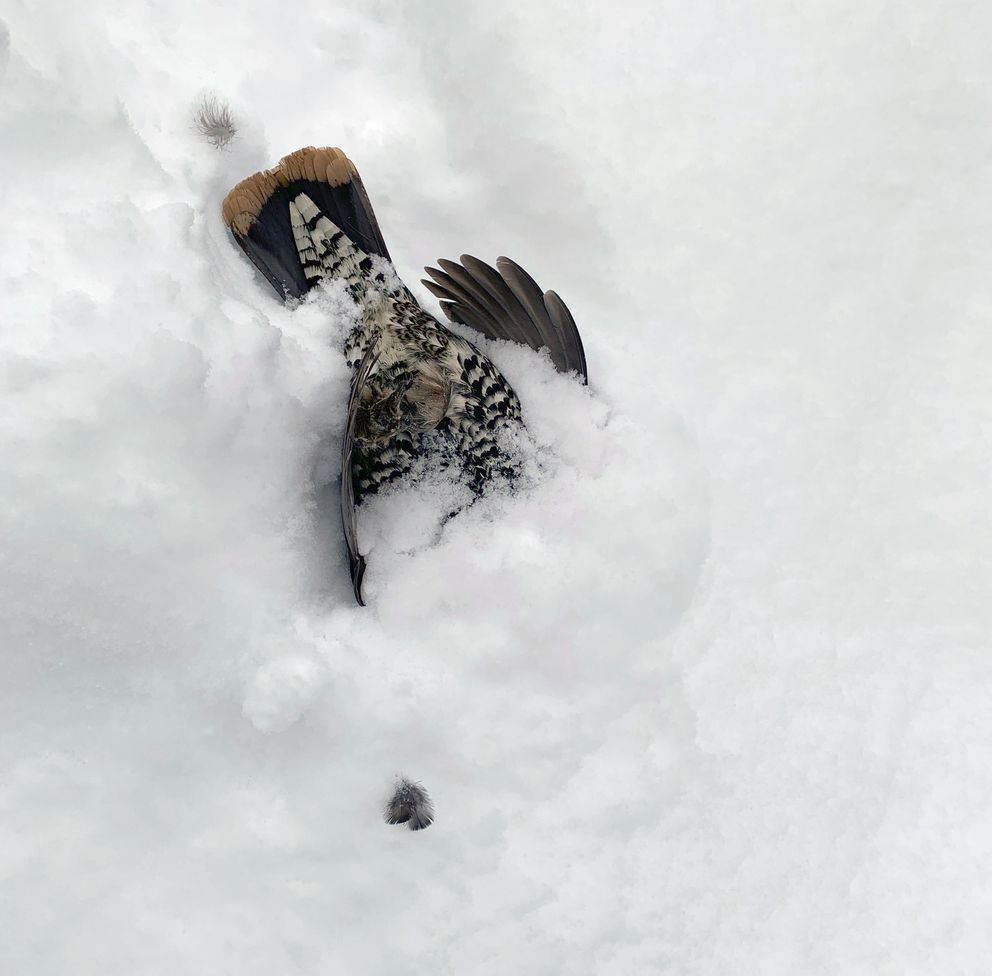 An adult male spruce grouse lies dead in the snow outside the Watsons' home. Wildlife experts think the grouse may have been fleeing from the goshawk when they both hit the window. (Photo by Jennifer Watson)