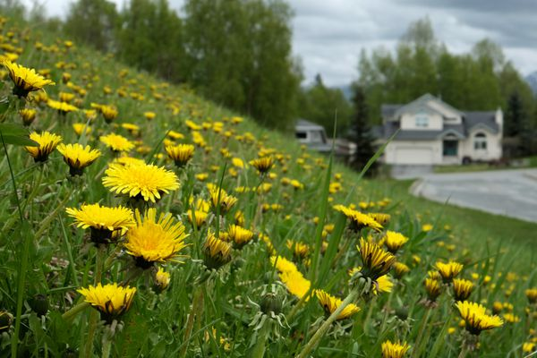 Dandelions grow in the grass on a hill near Kincaid Elementary School in Anchorage on May 18, 2017. (Marc Lester / Alaska Dispatch News)