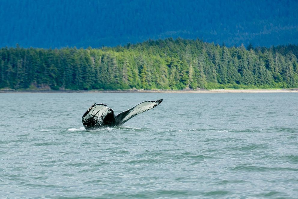 "The humpback whale known as Sasha frequents Southeast Alaska waters and is pictured here in Auke Bay in an undated photo. The whale has a distinctive fluke with markings resembling the letters ""AK."" (Wikipedia Creative Commons photo by JD Lasica)"
