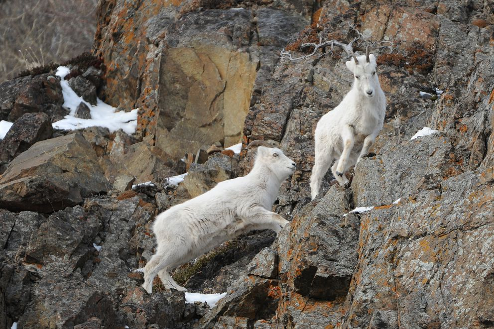 A par of Dall sheep feed on the cliffs along Turnagain Arm and the Seward Highway south of Anchorage, Alaska on Saturday, March 10, 2018. (Bob Hallinen / ADN)