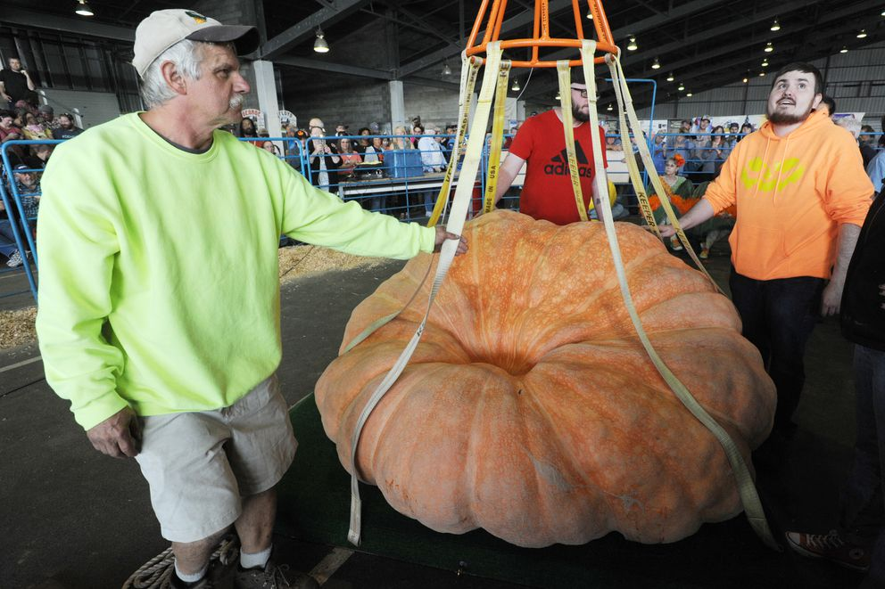 Dale Marshall of Anchorage prepares to move his pumpkin to the scale during the weigh-off Tuesday. (Bill Roth / ADN)