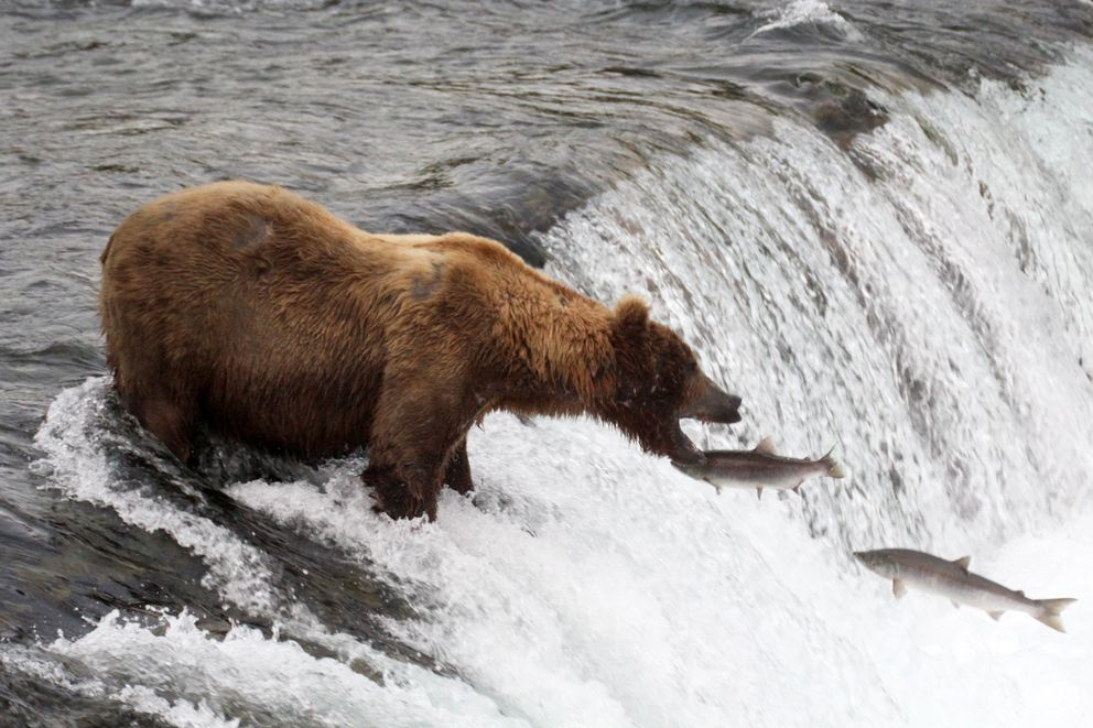 A brown bear fishes the falls for sockeye salmon at Brooks River on July 17, 2017, in Katmai National Park and Preserve. (Tegan Hanlon / ADN archive)