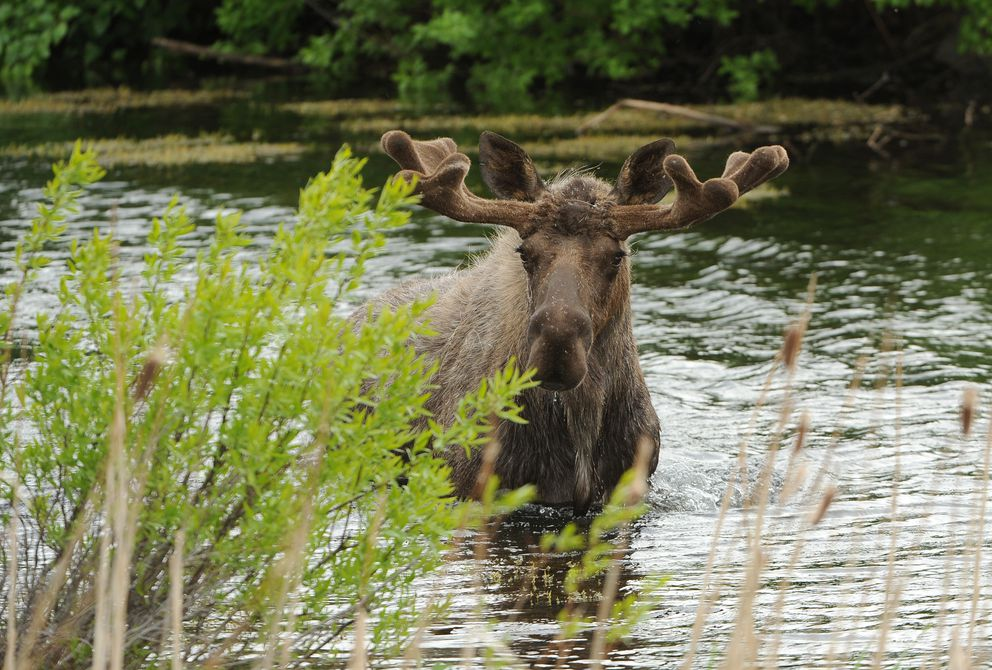 A bull moose walks across a small pond between the Seward Highway and the Alaska Railroad tracks at Potter Marsh in Anchorage on June 5, 2018. (Bob Hallinen / ADN)