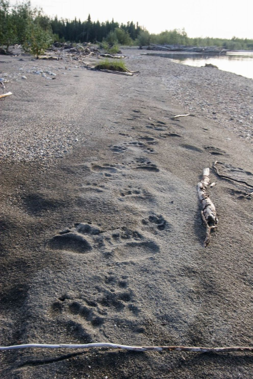 Bear prints near the Salmon River in Kobuk Valley National Park, August 2009. (Photo courtesy National Park Service)