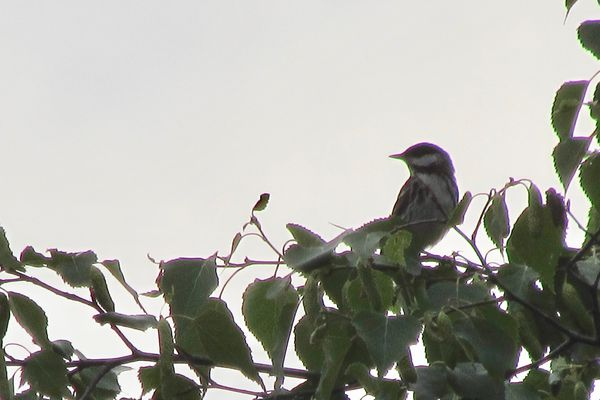 A blackpoll warbler singing from a treetop in South Fairbanks. (Photo by Ned Rozell)