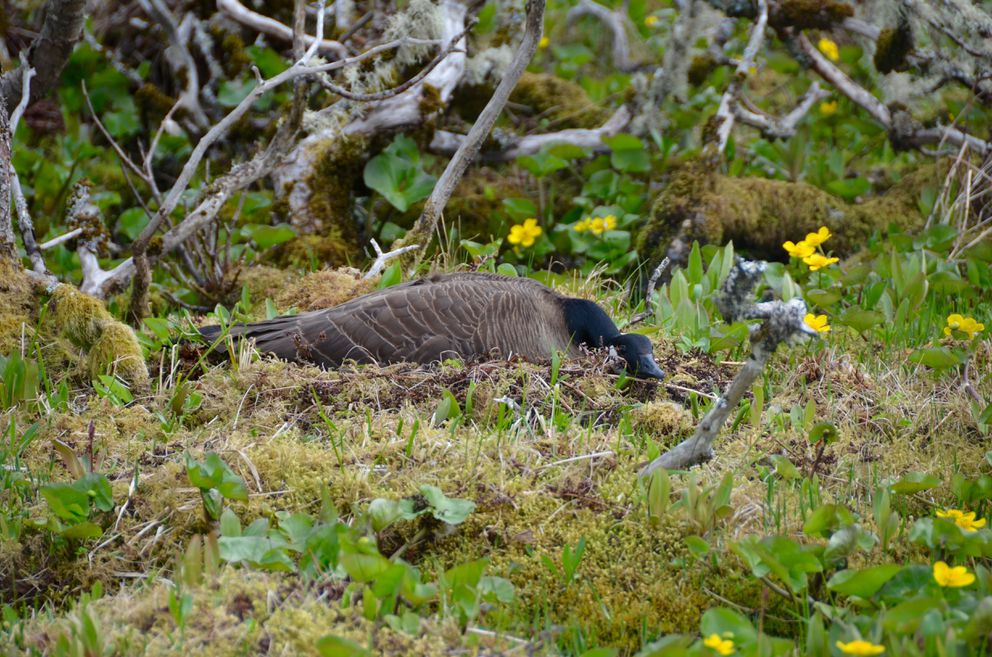 Dusky Canada goose on nest, Middleton Island, May 2015. (Rick Sinnott)