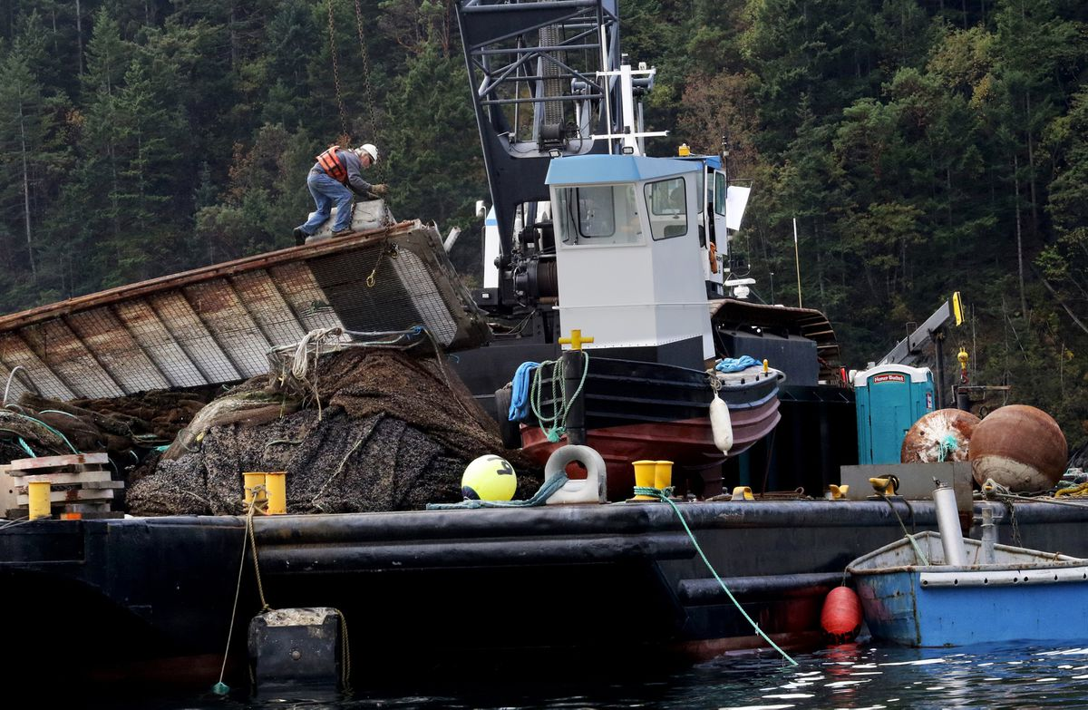 A worker secures pieces of Cooke Aquaculture's destroyed Atlantic salmon pen as the salvage operation continues. (Alan Berner/Seattle Times/TNS)