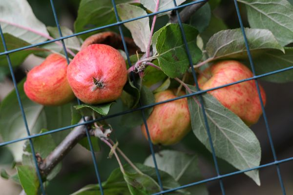Apples protrude from fencing protecting the tree from moose in the yard of a Turnagain home on Friday, September 15, 2017, in west Anchorage. (Erik Hill / Alaska Dispatch News)