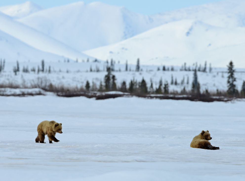 Grizzly bears, Jade Mountains in the background. (Photo by Seth Kantner)