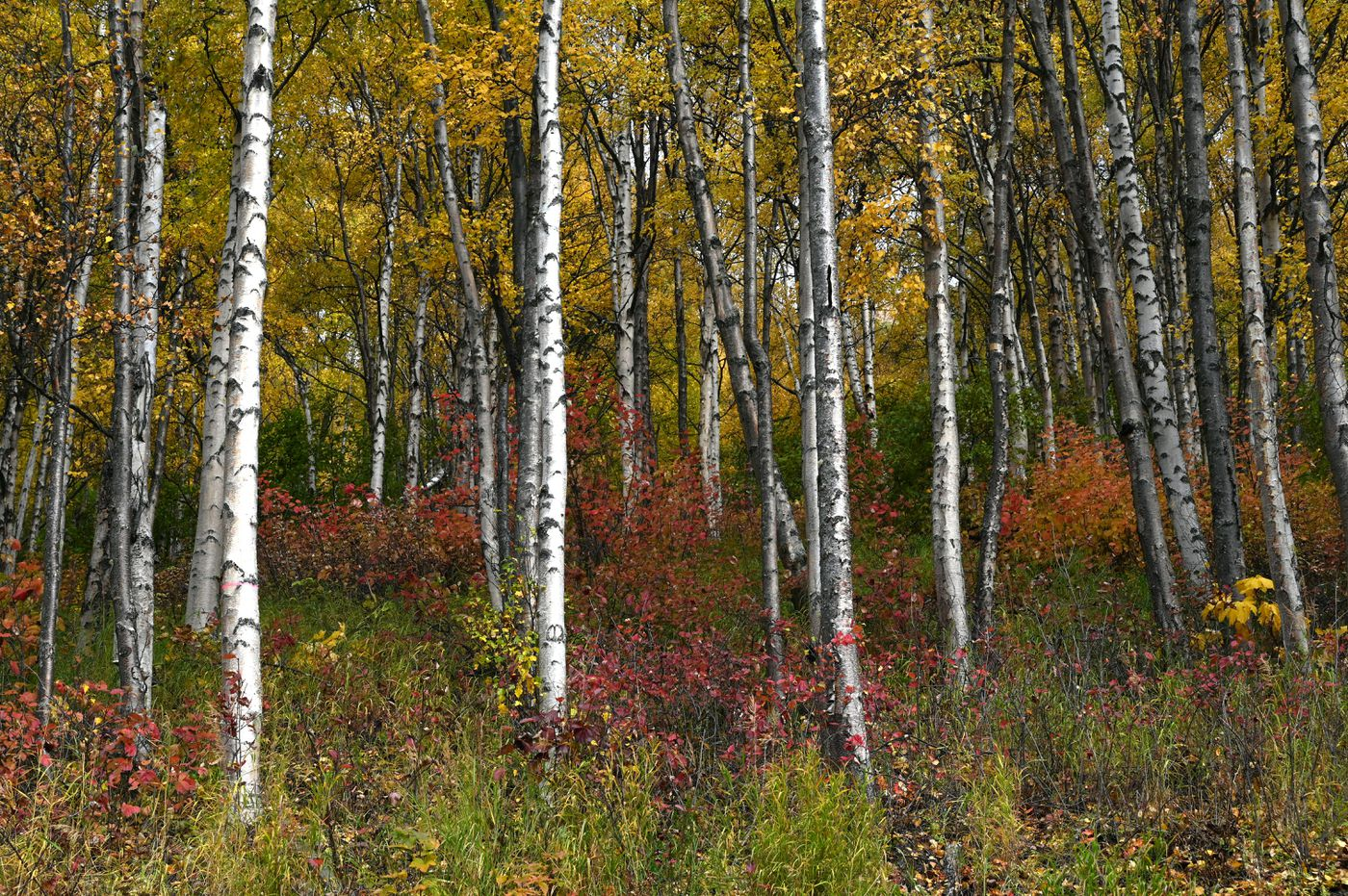 Fall colors light up the Eagle River valley Saturday, Sept. 26, 2020. (Anne Raup / ADN)