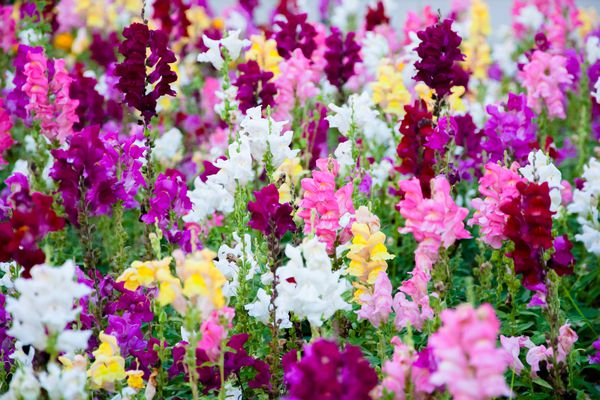 Colorful Snapdragons Flowers in the garden.