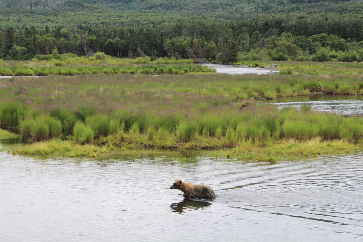 A brown bear searches for sockeye salmon in the lower Brooks River on July 16, 2017, in Katmai National Park. (Tegan Hanlon / Alaska Dispatch News)