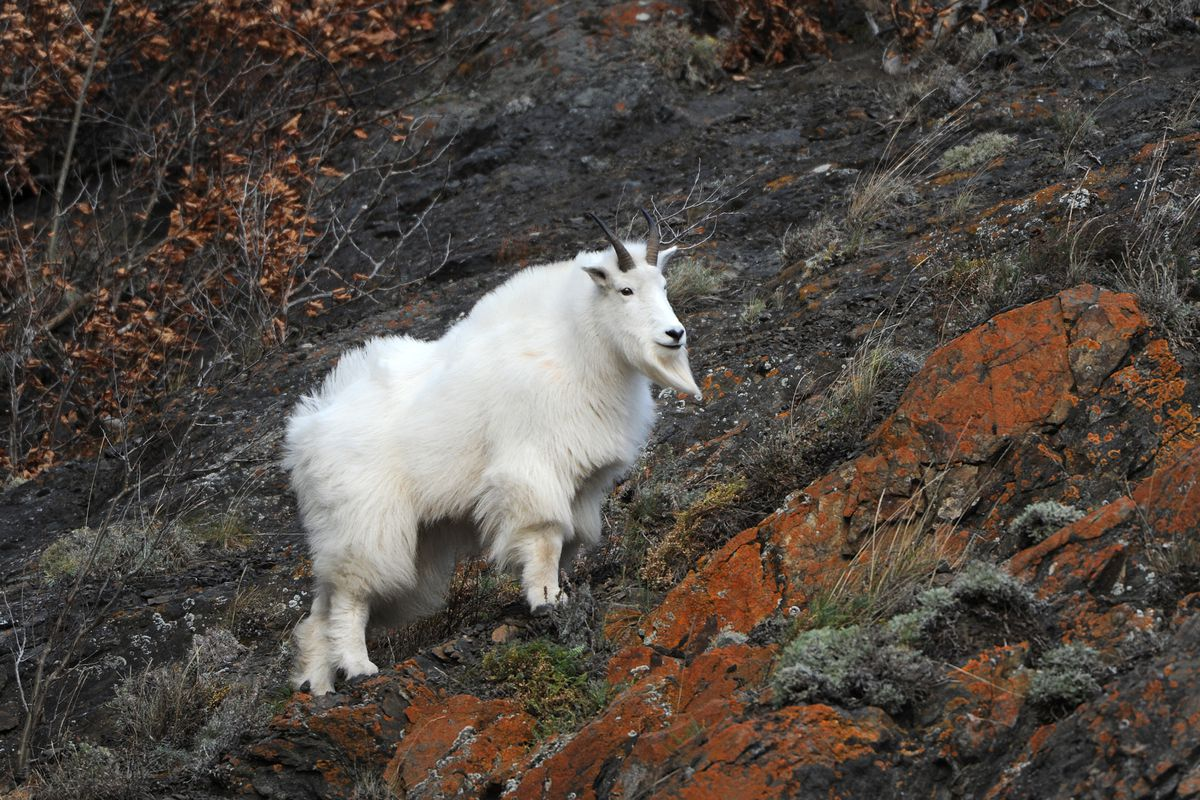 Motorists traveling on the Seward Highway had a rare opportunity to view a Mountain goat perched on the steep rock cliffs just south of the Potter weigh station on Sunday, Oct. 25, 2015. (Bill Roth / ADN archive)