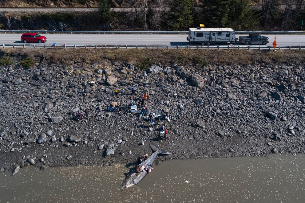 Volunteers dissect a humpback whale along Turnagain Arm. The young whale had been spotted stranded along nearby beaches at least twice earlier this week. (Loren Holmes / ADN)
