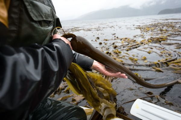 Lia Heifetz harvests bull kelp and pulls it into the dinghy in Peril Strait, May 20, 2017. (Bethany Goodrich) ONE TIME RIGHTS