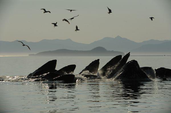 Humpback whales bubble-net feed in Frederick Sound off of Kupreanof Island. (Bob Hallinen / ADN)