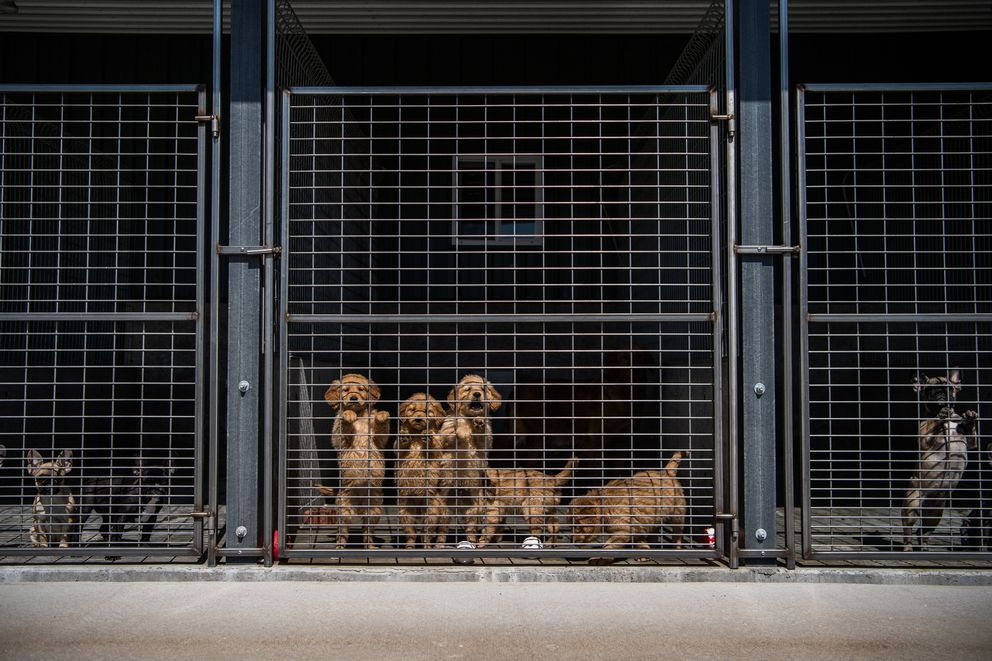 Golden retriever puppies, center, gather near the gate at the Sugarfork Kennels in Goodman, Mo. (Washington Post photo by Salwan Georges)