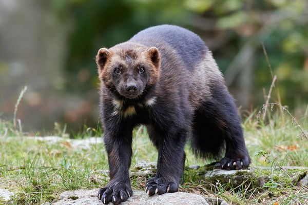 A wolverine. (iStock / Getty Images)