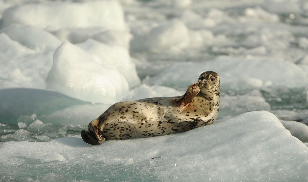 A harbor seal rests on an iceberg in front of South Sawyer Glacier. (Bob Hallinen / ADN)
