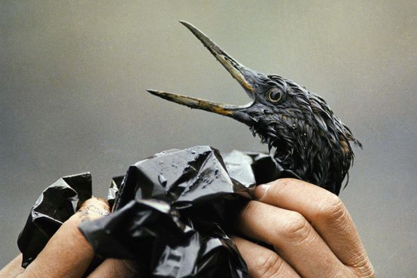 FILE - In this April 1989, file photo, an oil covered bird is examined on an island in Prince William Sound, Alaska, after the Exxon Valdez spill. Thirty years after the supertanker Exxon Valdez hit a reef and spilled about 11 million gallons of oil in Prince William Sound, the state of Alaska is looking whether to change its requirements for oil spill prevention and response plans, a move that one conservationist says could lead to a watering down of environmental regulations. (AP Photo/Jack Smith, File)