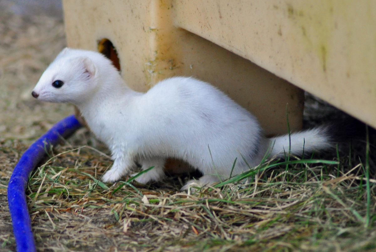 An ermine visited the Robertias' yard and dog lot. (Joseph Robertia)