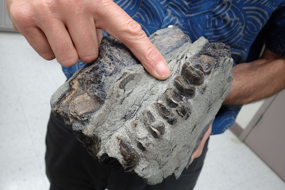 The fossilized teeth of a 10-million-year-old tapir found in Homer. (Photo by Ned Rozell)