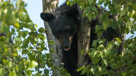 Black bear euthanized in Haines after it was wounded by improper police hazing, trooper says