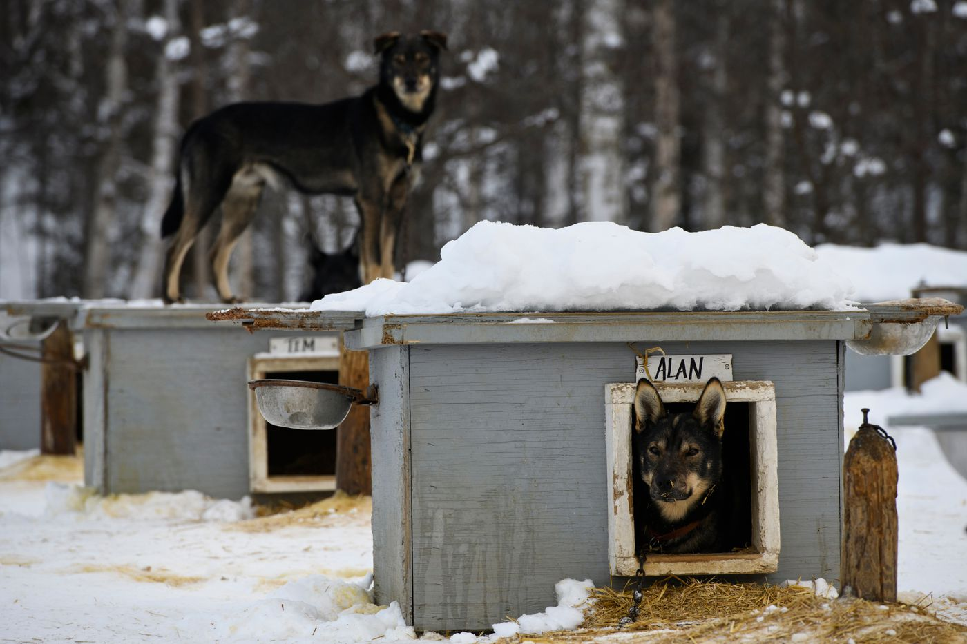 Tim, left, and Alan are two of about 80 dogs at Martin Buser's Big Lake kennel. Photographed on February 25, 2020. (Marc Lester / ADN)
