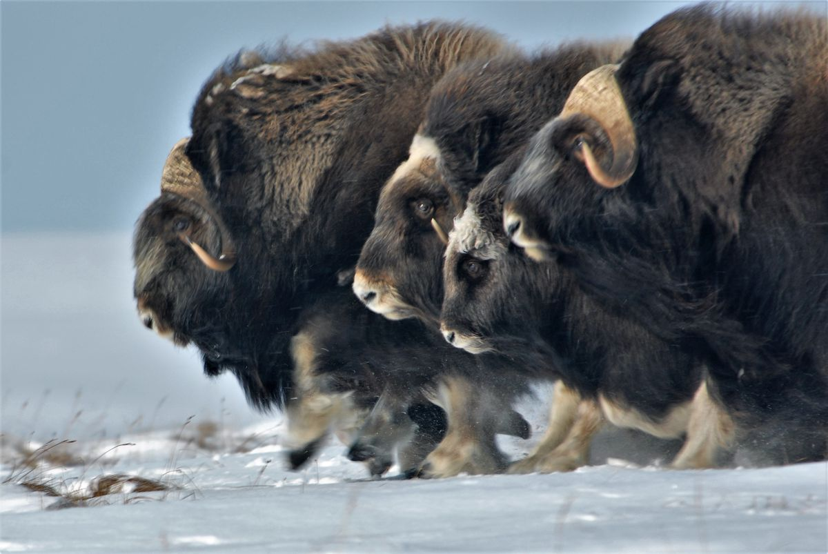 Musk oxen in the Alaska Arctic. (Joel Berger via The New York Times)