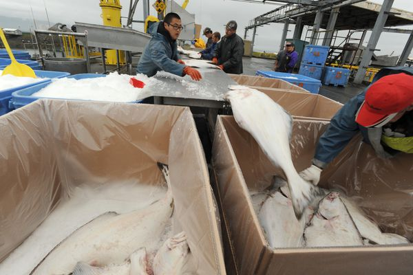 Keith Pearson, left, pushes a halibut as the Auction Block Company crew offloads fish from a boat, Aug. 9, 2016. The fish are sorted by size, iced and boxed for moving. (Anne Raup / Alaska Dispatch News)