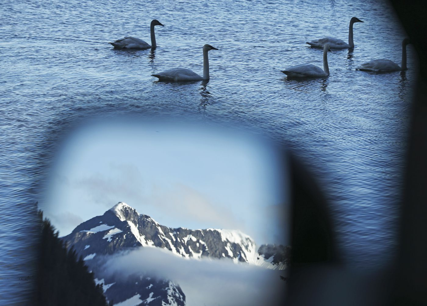 Swans swim along the shore of Eyak Lake as a nearby mountain range is reflected in the side mirror of a car on Power Creek Road in Cordova on Saturday, May 22, 2021. (Emily Mesner / ADN)