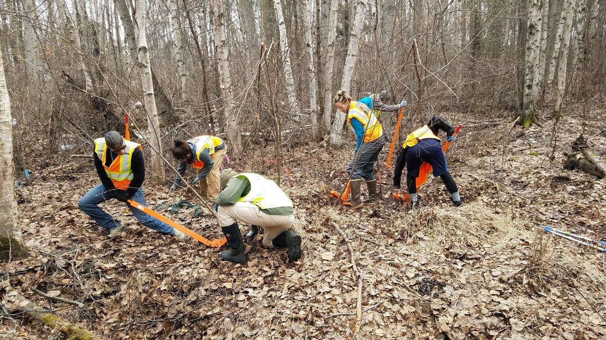 Volunteers pull bird cherry to remediate Anchorage park land during summer 2018. (Hans Thompson photo)