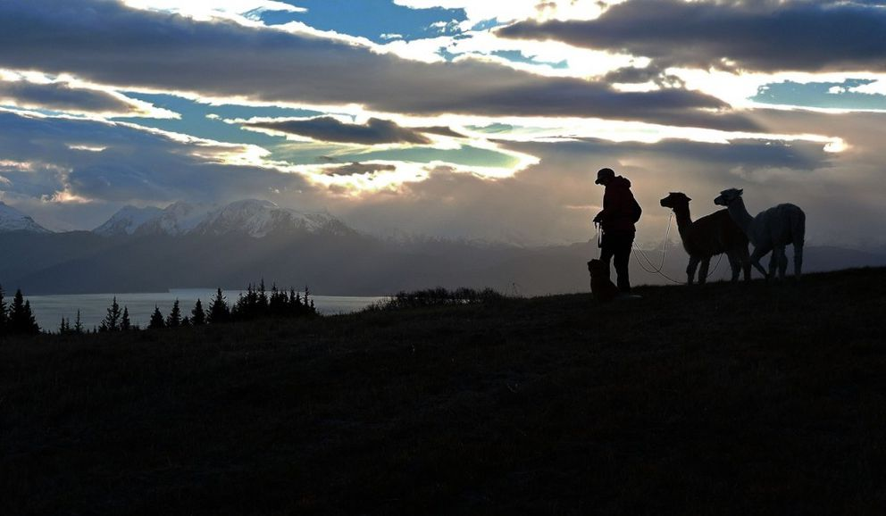 An early winter morning outing provides a stunning backdrop above Kachemak Bay on Inspiration Ridge Preserve for Nina Faust to walk with her alpacas. (Robin Edwards)