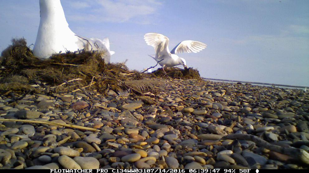 A camera documenting nesting eiders in the Beaufort sea captures a gull attacking an the eider duckling who wandered too close to its nest. The camera, thought to be lost during a July storm surge, was recovered by a group of rafters beachcombing on Icy Reef in August 2016. (FWS)
